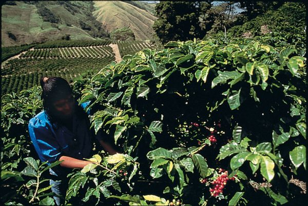 Coffee_picker